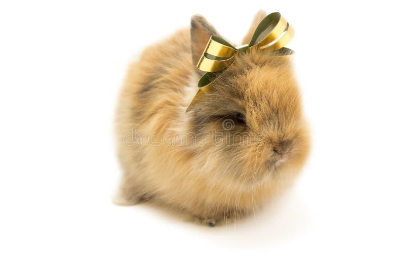 Piccolo coniglio con l'arco dorato isolato su fondo bianco fotografia stock libera da diritti