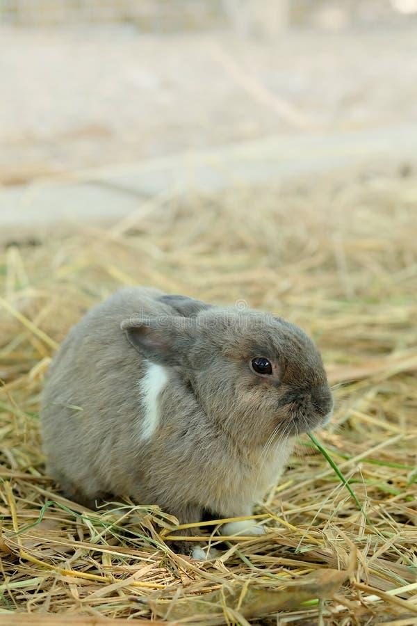 Piccolo coniglio grigio innocente in paglia fotografia stock libera da diritti