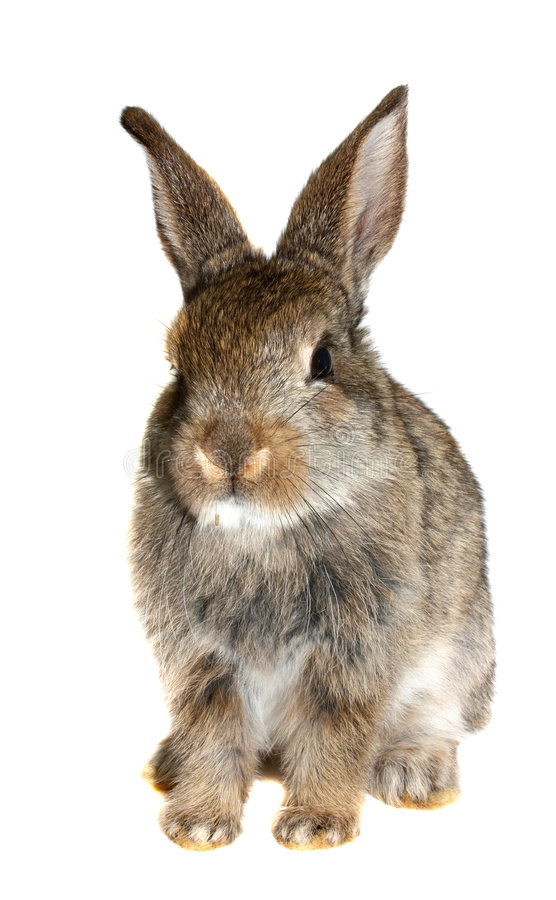 Piccolo coniglio isolato   fotografia stock libera da diritti