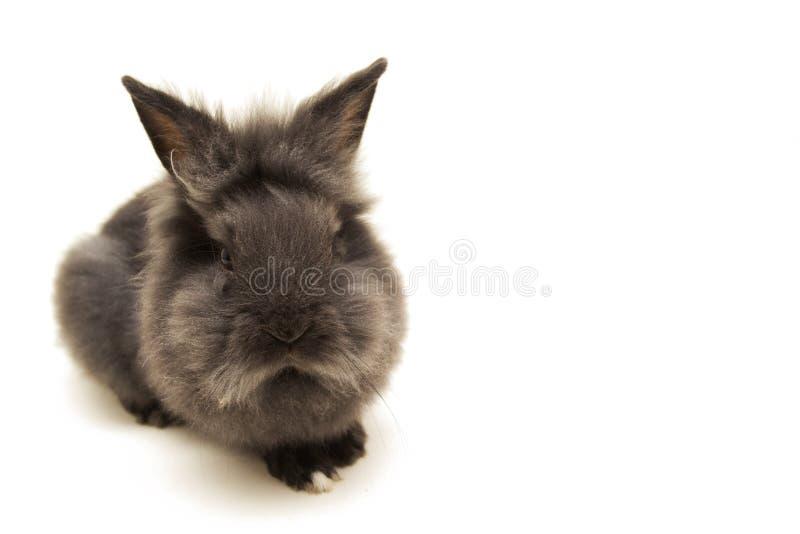 Piccolo coniglio nero su fondo bianco fotografia stock