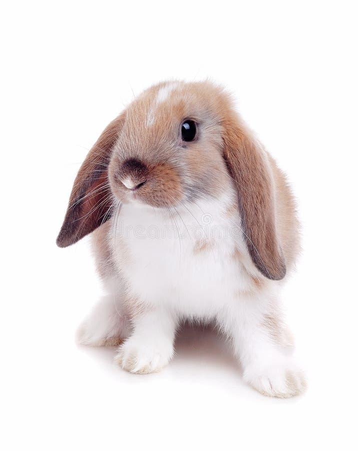 Piccolo coniglio su una priorità bassa bianca fotografie stock