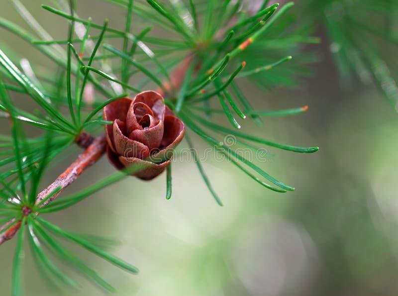 Piccolo cono del pino fotografia stock