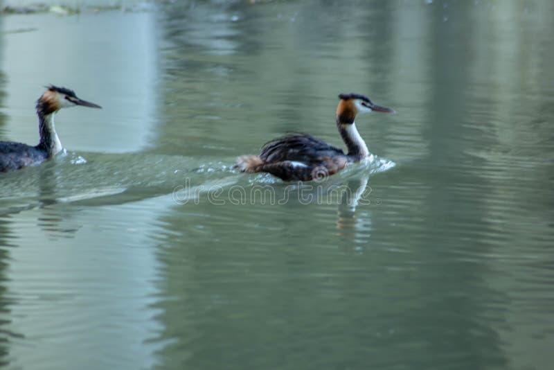 Piccolo cormorano che nuota pacificamente sul fiume sile immagine stock