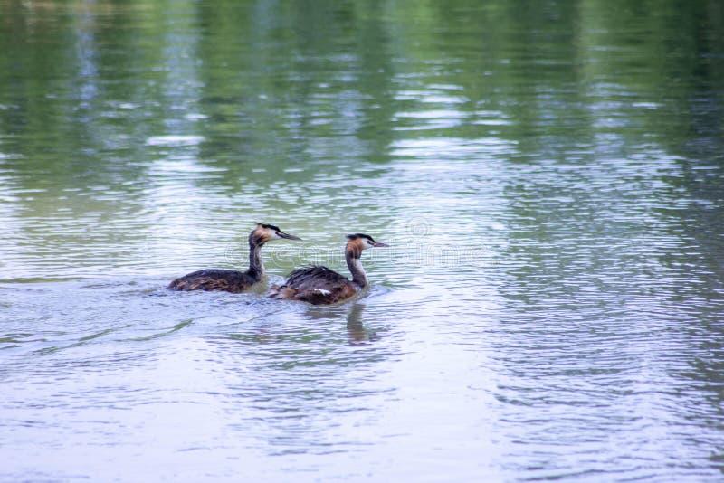 Piccolo cormorano che nuota pacificamente sul fiume sile immagini stock libere da diritti