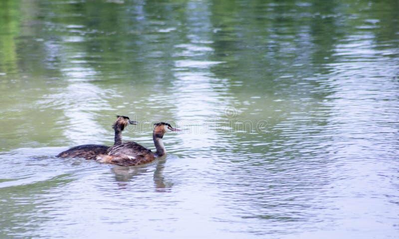Piccolo cormorano che nuota pacificamente sul fiume sile fotografie stock libere da diritti