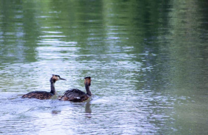Piccolo cormorano che nuota pacificamente sul fiume sile fotografia stock