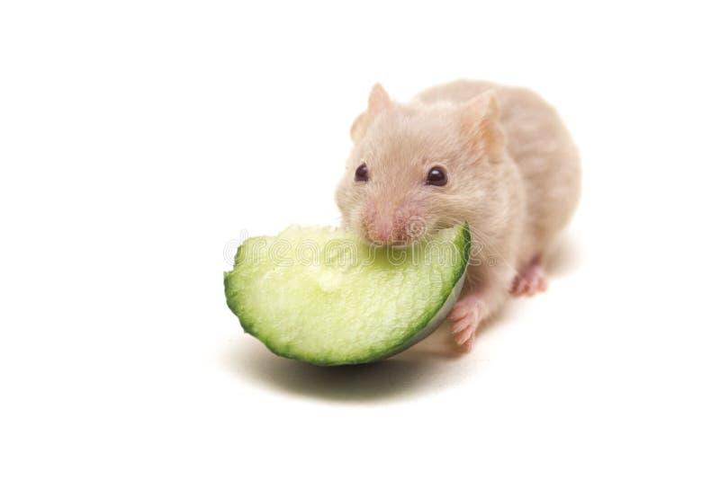 Piccolo criceto che mangia cetriolo immagini stock