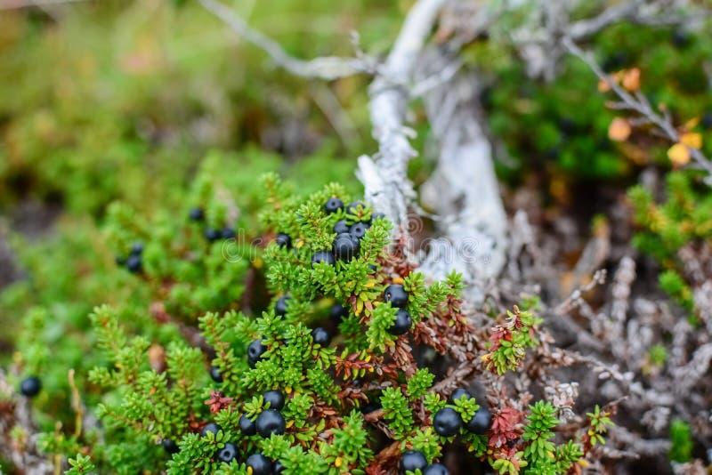 Piccolo crowberry nero in una natura del nord della foresta della tundra immagini stock libere da diritti