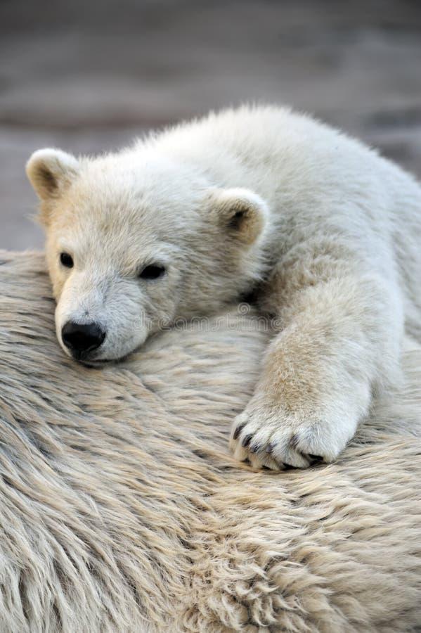 Piccolo cub dell'orso polare che ha un resto immagini stock libere da diritti