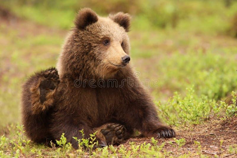 Piccolo cub di orso marrone sveglio fotografie stock