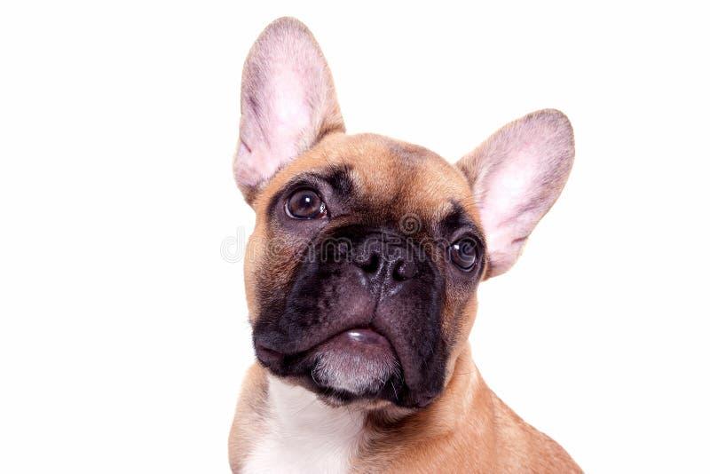 Piccolo cucciolo del bulldog francese fotografie stock libere da diritti