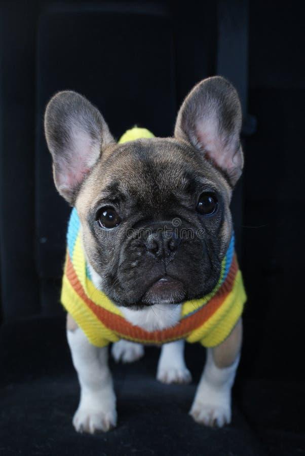 Piccolo cucciolo del bulldog francese fotografie stock