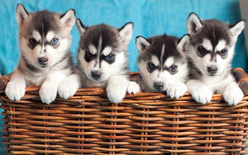 Un husky di quattro cuccioli fotografia stock