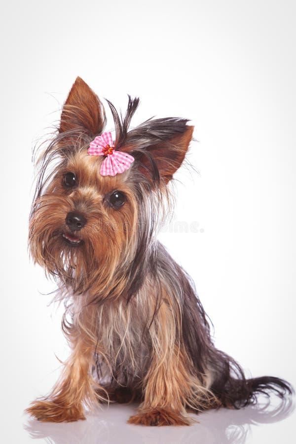 Piccolo cucciolo di cane confuso dell'Yorkshire terrier fotografia stock libera da diritti