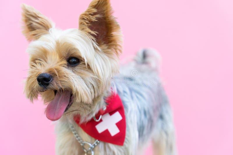 Piccolo cucciolo di cane divertente sveglio dell'Yorkshire terrier in Natale in w fotografia stock