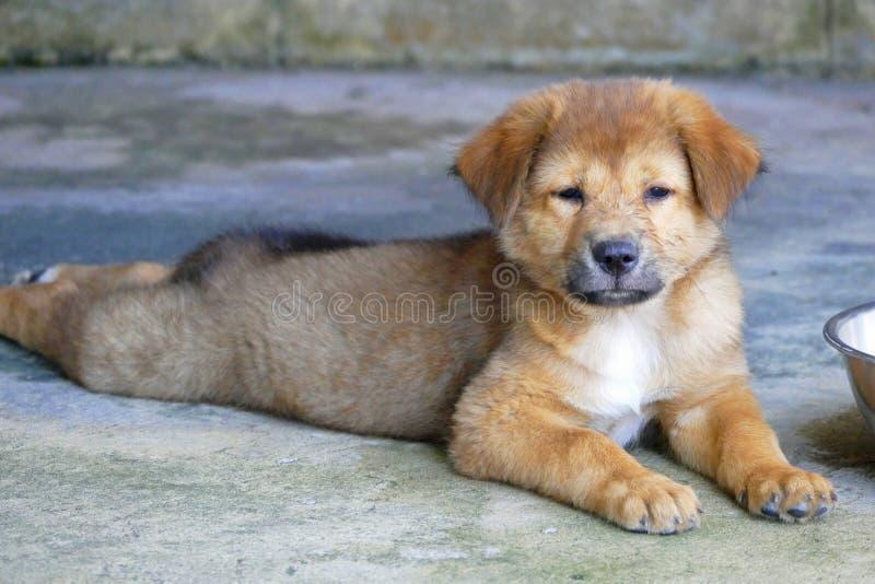 Piccolo cucciolo di cane sonnolento di Brown che si trova sulla terra immagini stock