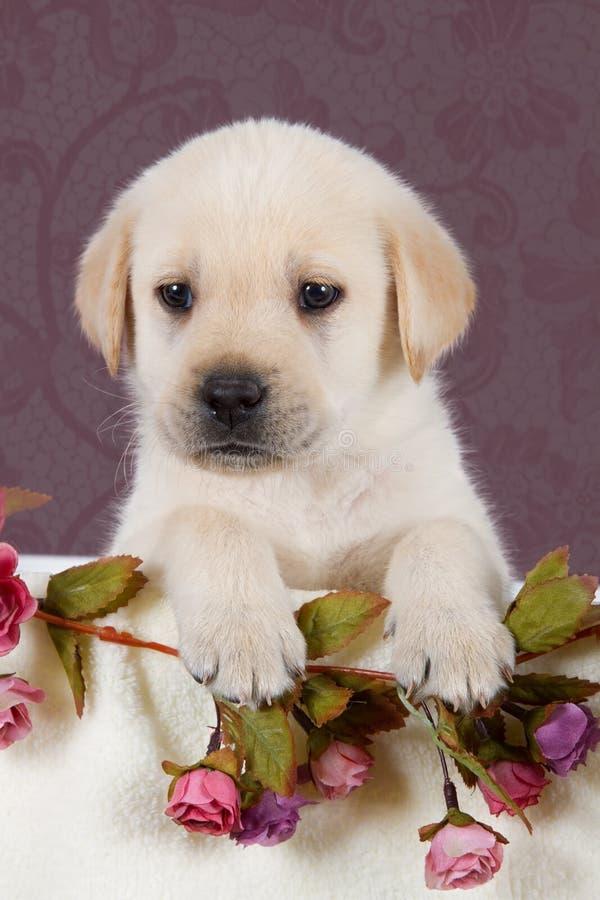 Piccolo cucciolo di labrador con i fiori in coperta sul modello rosa immagini stock