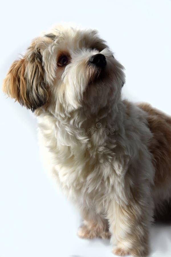 Piccolo cucciolo havanese con i grandi occhi stupiti immagini stock libere da diritti