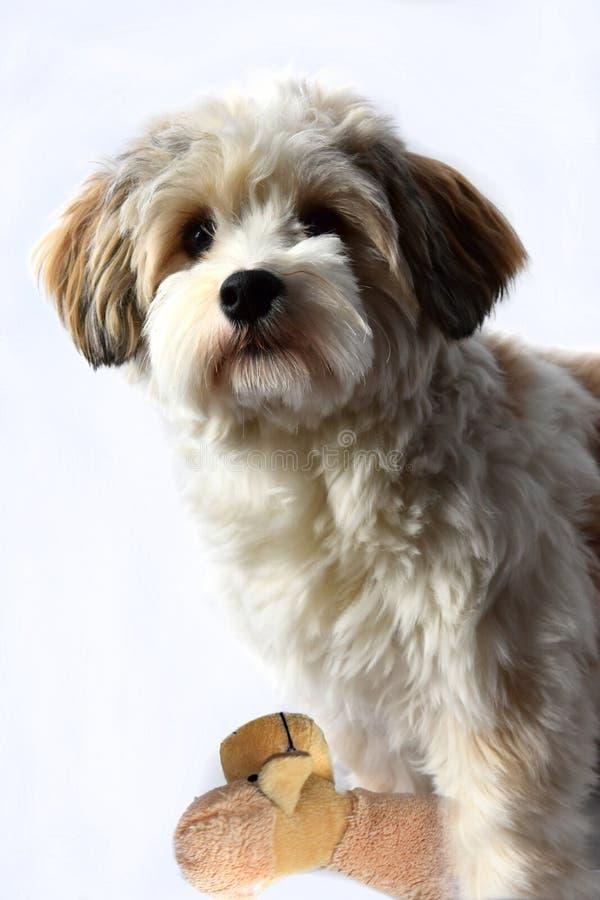 Piccolo cucciolo havanese con il suo giocattolo favorito fotografia stock libera da diritti