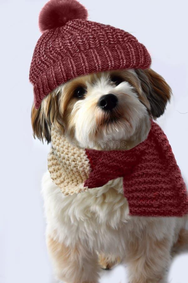 Piccolo cucciolo havanese con la sciarpa di lana e bobble cappello fotografie stock