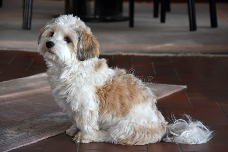 Piccolo cucciolo havanese sta aspettando qualcuno per giocare con lui immagini stock
