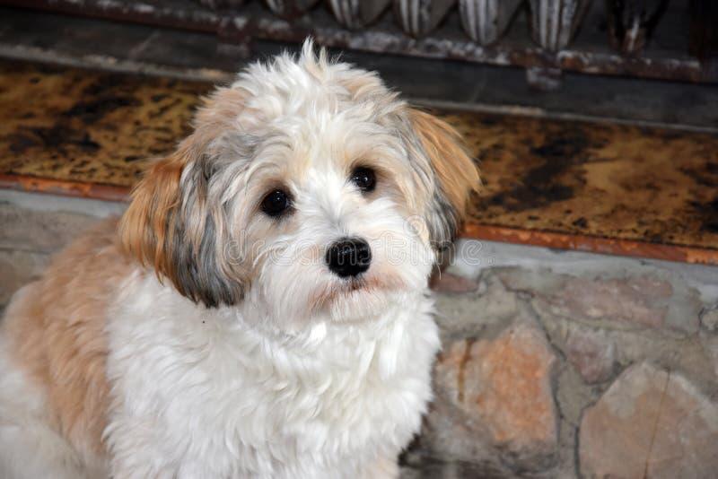 Piccolo cucciolo havanese sta aspettando qualcuno per giocare con lui fotografie stock