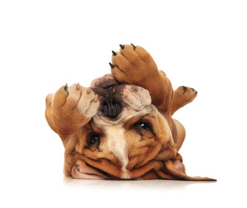 Piccolo cucciolo inglese adorabile del bulldog che mette sulla sua parte posteriore immagini stock libere da diritti