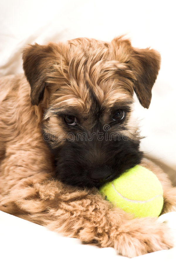 Piccolo cucciolo marrone immagine stock