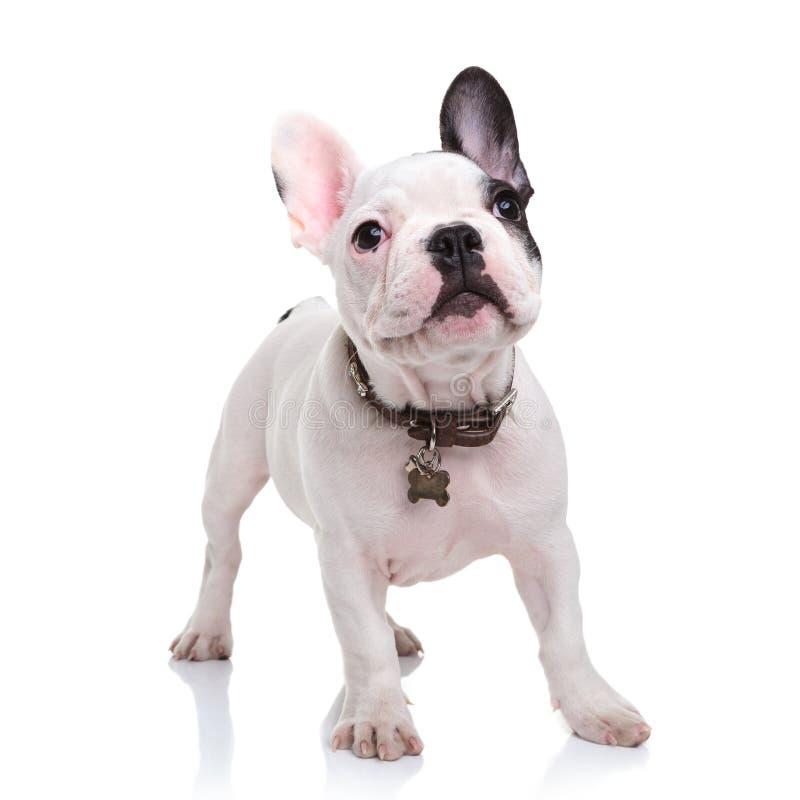 Piccolo cucciolo sveglio del bulldog francese che sta sul fondo bianco immagine stock