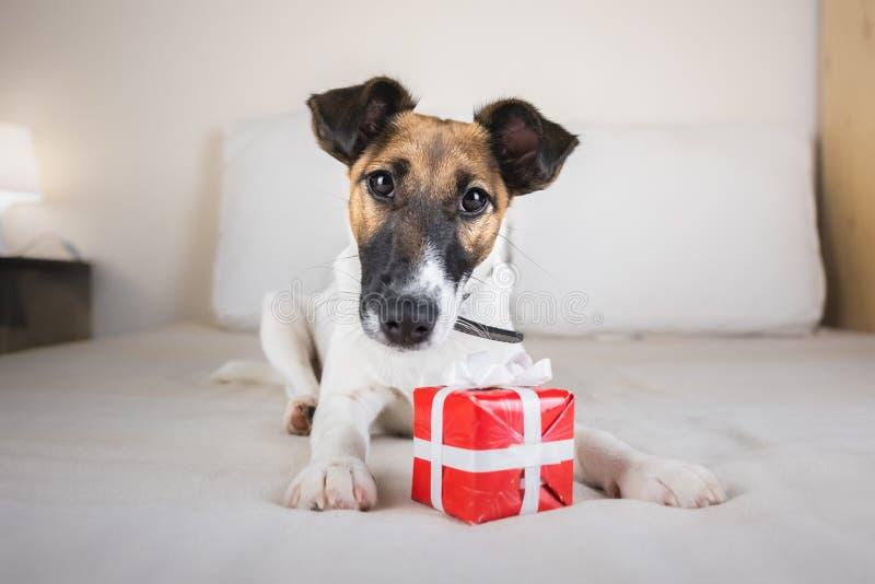 Piccolo cucciolo sveglio del fox terrier sul letto con il contenitore di regalo minuscolo immagine stock libera da diritti