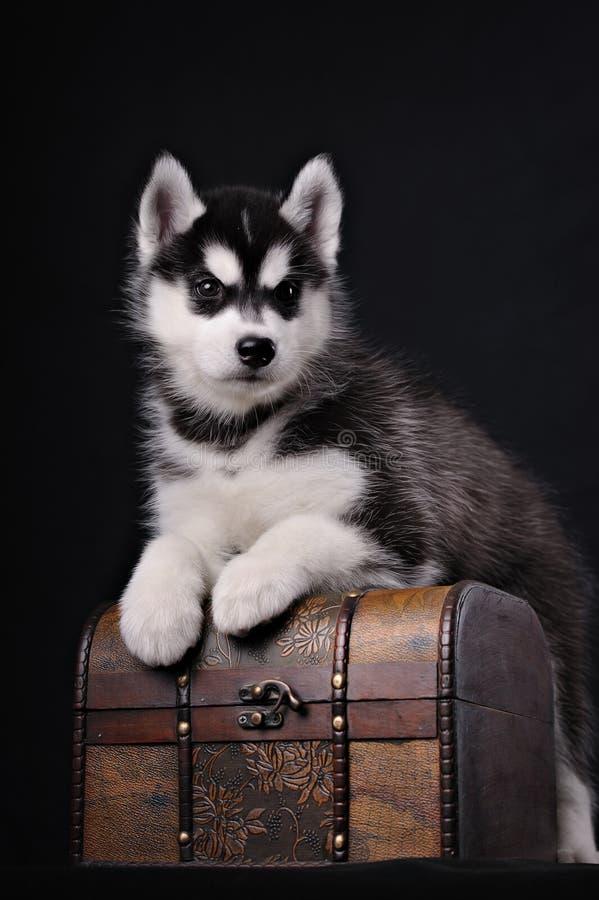 Piccolo cucciolo sveglio del husky syberian fotografie stock libere da diritti