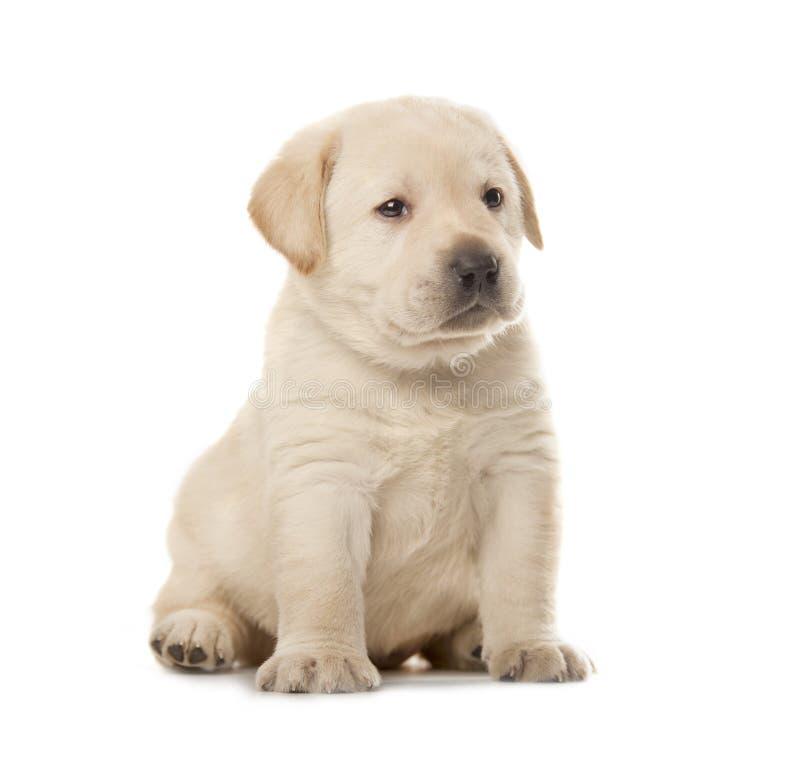 Cucciolo del labrador retriever fotografie stock