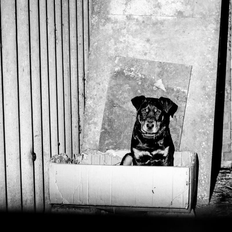 Piccolo cucciolo sveglio del rottweiler in un'uccelliera Foto alla moda monocromatica fotografie stock