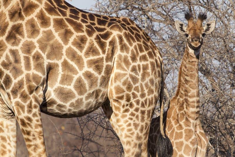 Piccolo cucciolo sveglio della giraffa dietro sua madre fotografia stock