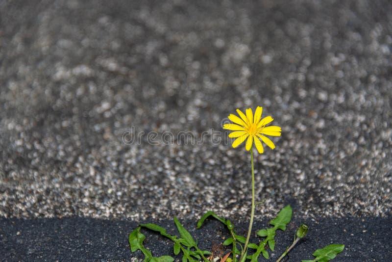 Piccolo dente di leone giallo che cresce e che fiorisce con la determinazione in una crepa fra asfalto e calcestruzzo fotografie stock libere da diritti