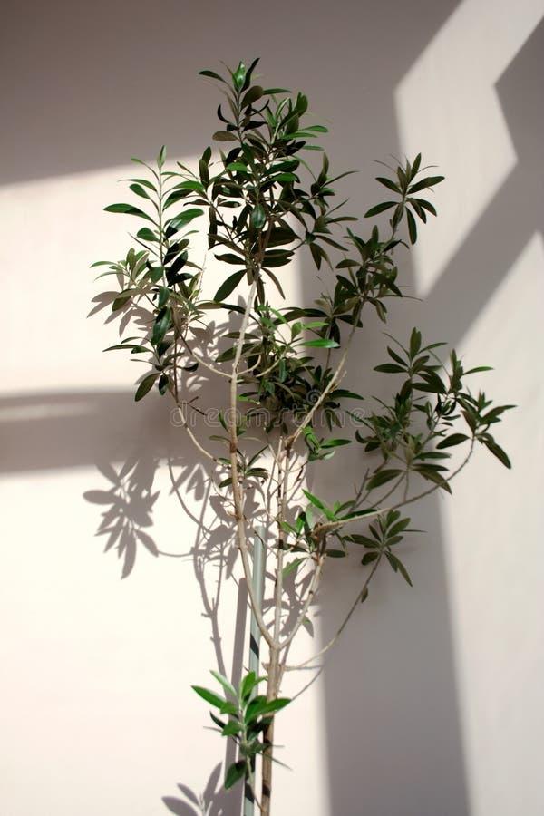 Piccolo di olivo conservato in vaso immagini stock