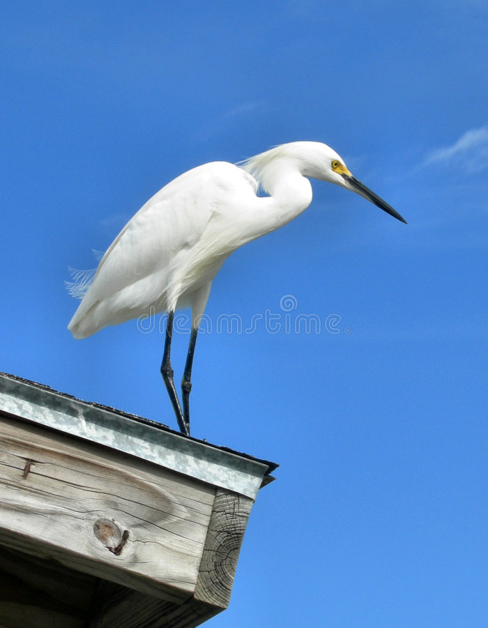 Piccolo Egret fotografia stock