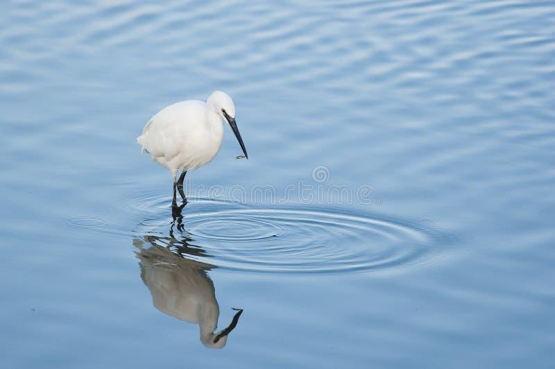 Piccolo Egret con i pesci fotografia stock libera da diritti