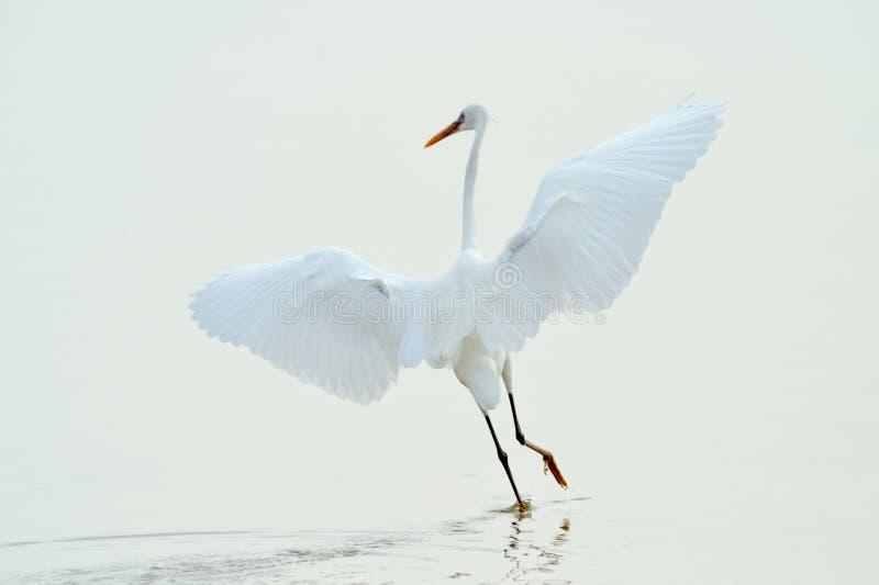Piccolo egret (garzetta del egretta) fotografia stock