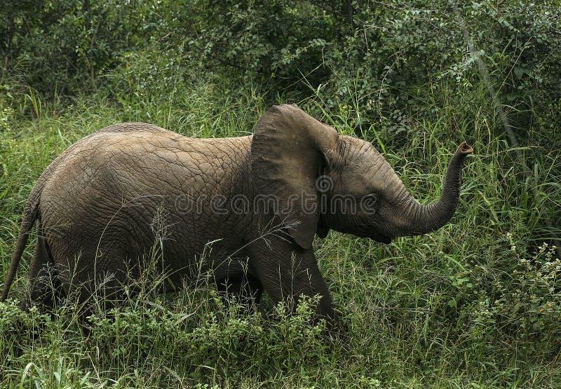 Piccolo elefante cammina nell'erba fotografia stock libera da diritti