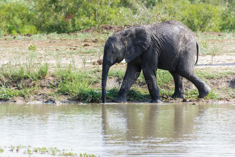 Piccolo elefante che precipita verso l'acqua ad un foro di innaffiatura nel parco immagine stock