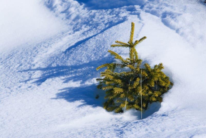 Piccolo evergreen fotografia stock libera da diritti