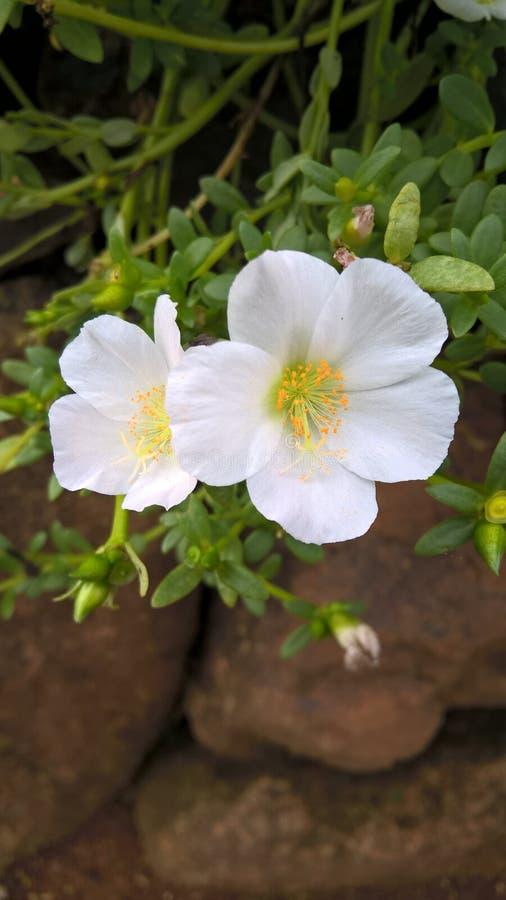 Piccolo fiore bianco immagini stock