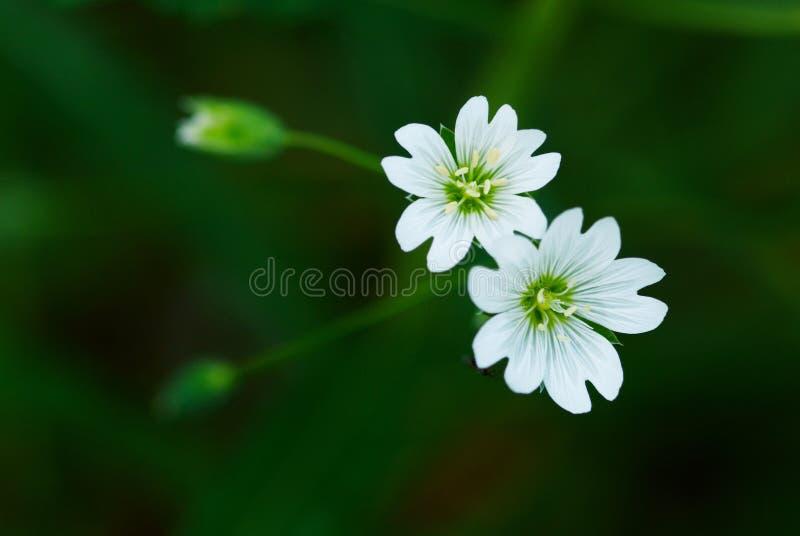 Piccolo fiore bianco selvaggio due immagine stock libera da diritti