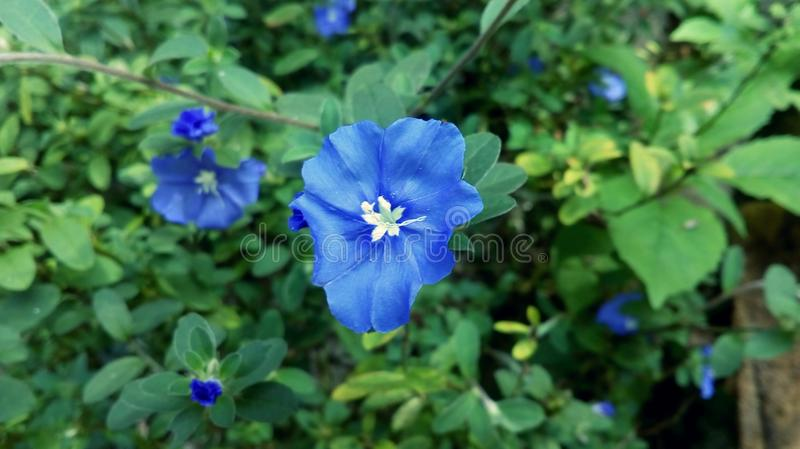 Piccolo fiore blu fotografie stock