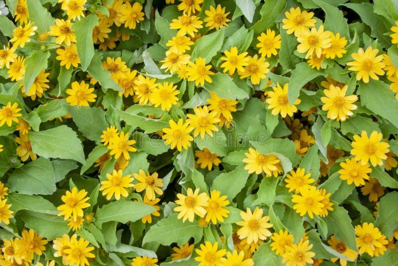 Piccolo fiore di divaricatum giallo del Melampodium o della stella fotografia stock