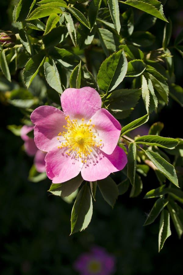 Piccolo fiore rosa fotografie stock libere da diritti