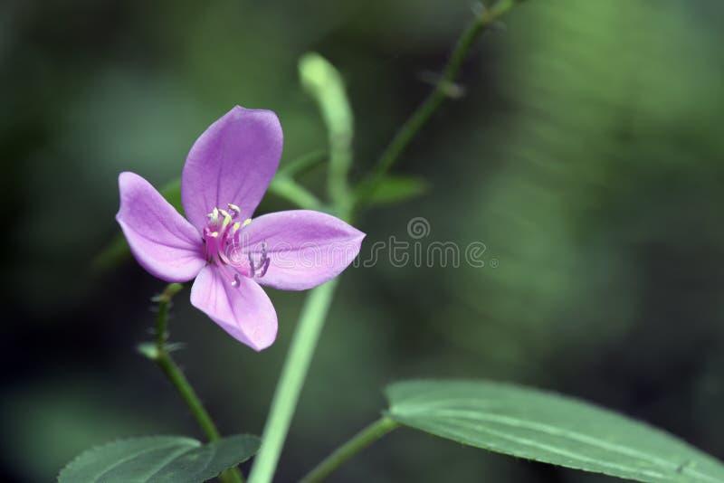 Piccolo fiore rosa avvistato in foresta pluviale atlantica fotografie stock libere da diritti