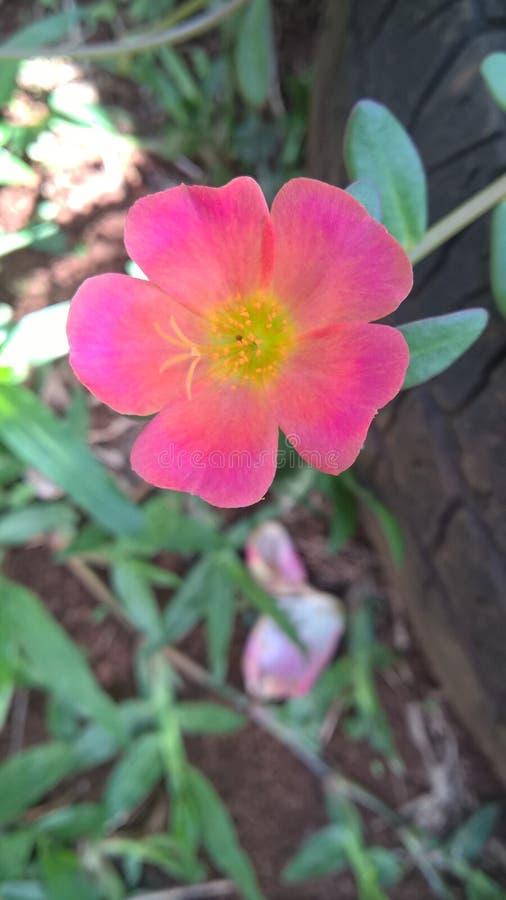 Piccolo fiore rosso con i dettagli gialli fotografie stock libere da diritti