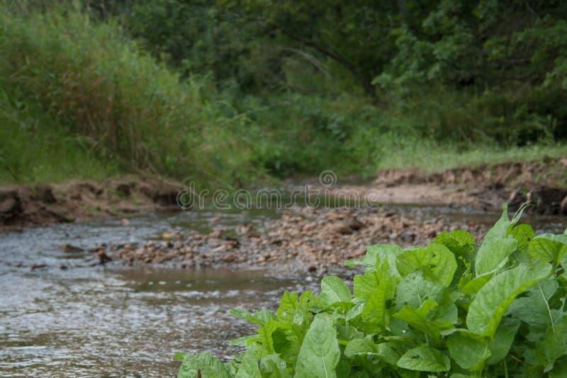 Piccolo flusso di corrente fiume pulito del foresttranquil verde selvaggio nel piccolo in foresta con le rocce ed in pianta verde fotografia stock